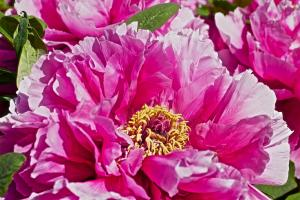 The peony is known as the queen of flowers
